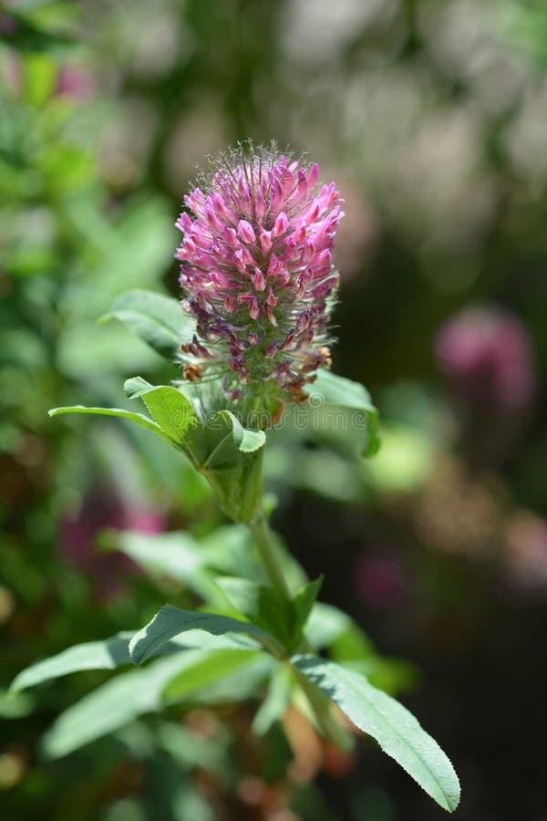 Red trefoil. Flower - Latin name - Trifolium rubens royalty free stock images