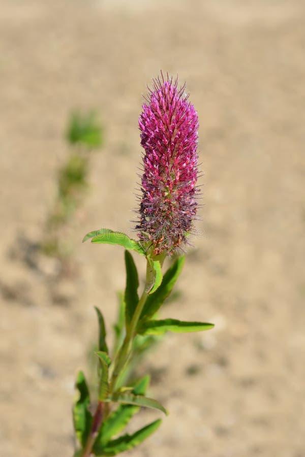 Red trefoil. Flower - Latin name - Trifolium rubens royalty free stock photo