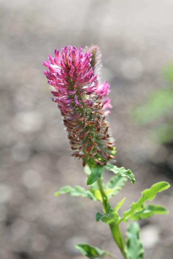Red trefoil. Latin name - Trifolium rubens royalty free stock images