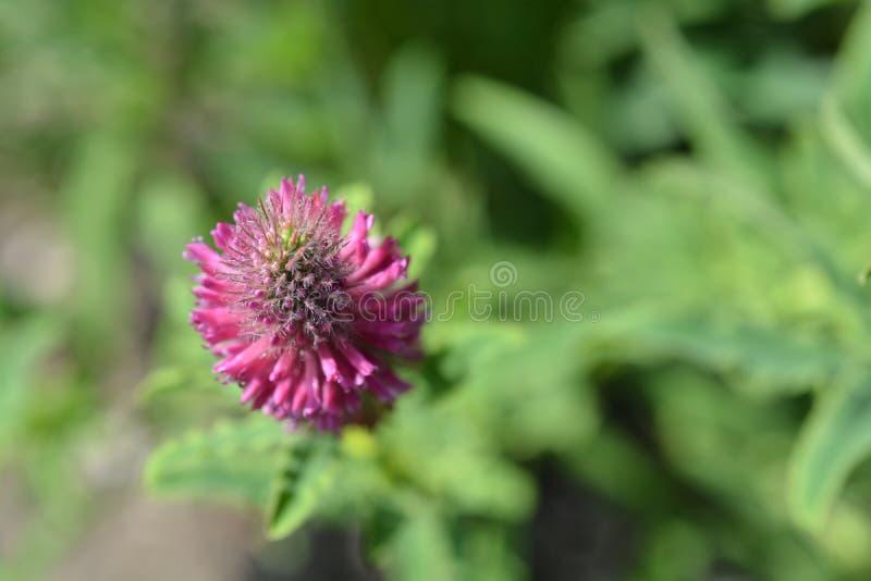Red trefoil. Top view - Latin name - Trifolium rubens stock photo