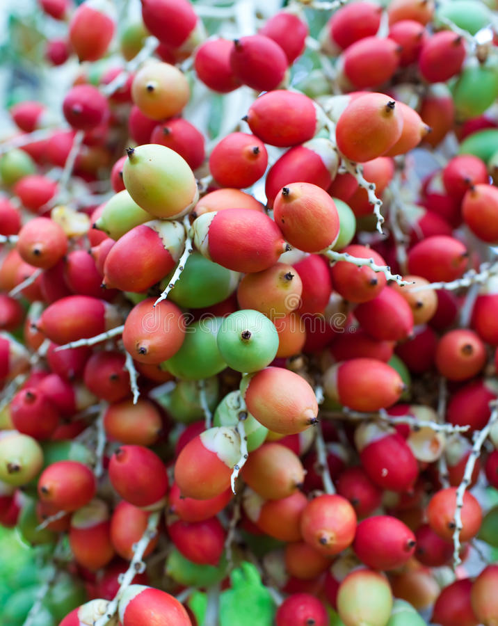 Red tropical berries -Fruit of the Christmas Palm royalty free stock image