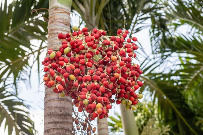 Red tropical berries Fruit of the Christmas Palm Manila Palm -Adonidia Merrillii stock images