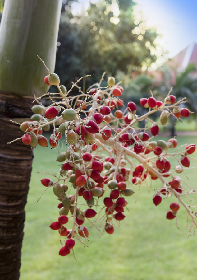 Red tropical berries -Fruit of the Christmas Palm (Manila Palm -Adonidia Merrillii) royalty free stock images