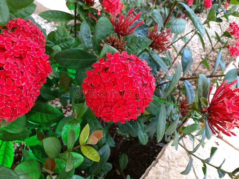 Red tropical flower. Beautiful red flower found in Mexico at the caribbean sea stock photography
