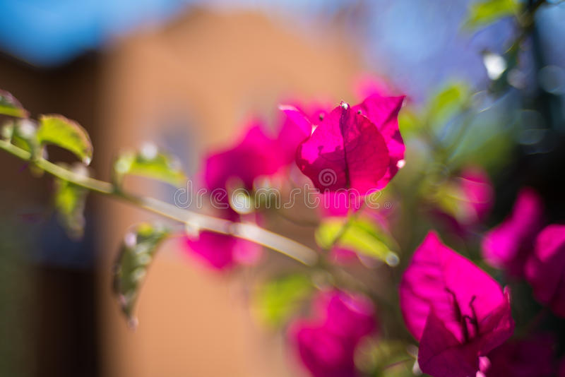 Red tropical flowers close up against sandstone building on the royalty free stock images