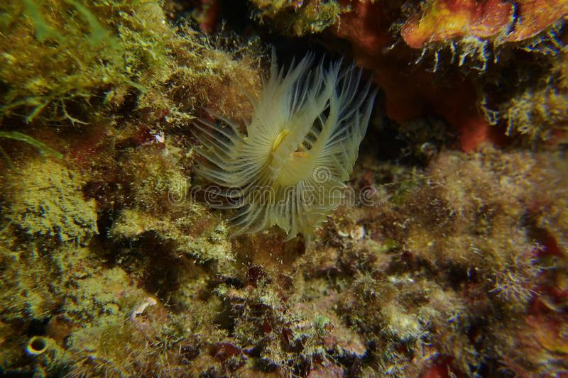 Red tube worm on a beautiful background royalty free stock photos