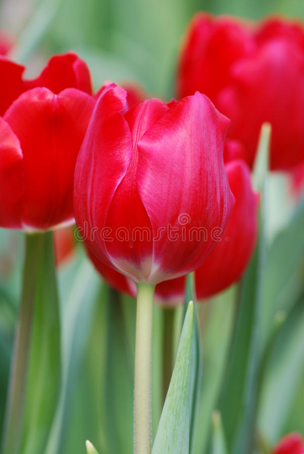 Free Red Tulip Stock Photo - 13342190