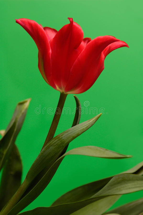 Download Red Tulip stock image. Image of flowers, life, colourful - 13351985