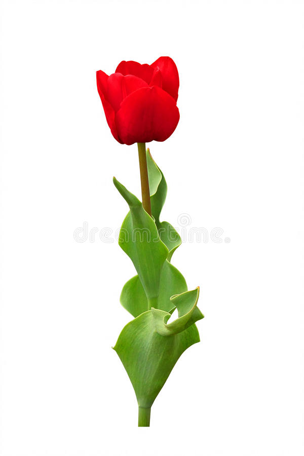 Download Red Tulip stock image. Image of gift, easter, beauty - 18215499