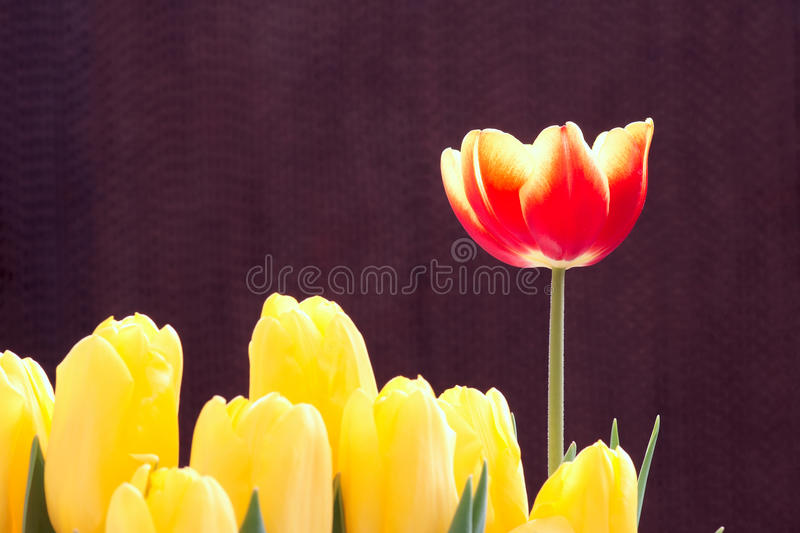 Download Red tulip stock image. Image of green, blooming, leaf - 23102225