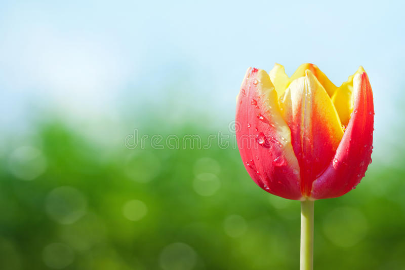 Download Red Tulip stock image. Image of style, sunny, abstract - 25525835