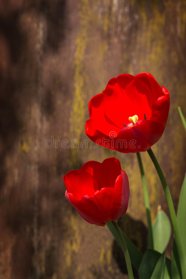 Red tulip against wooden background royalty free stock photos