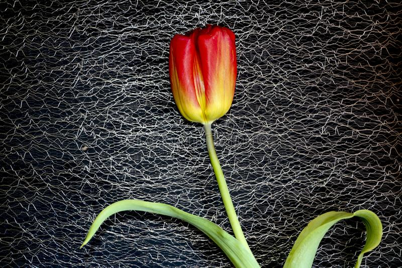 Red tulip on a black background. a delicate tulip flower with red petals and bright green leaves on a dark background. royalty free stock photos