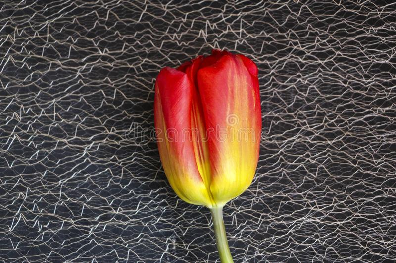 Red tulip on a black background. a delicate tulip flower with red petals and bright green leaves on a dark background. stock photo