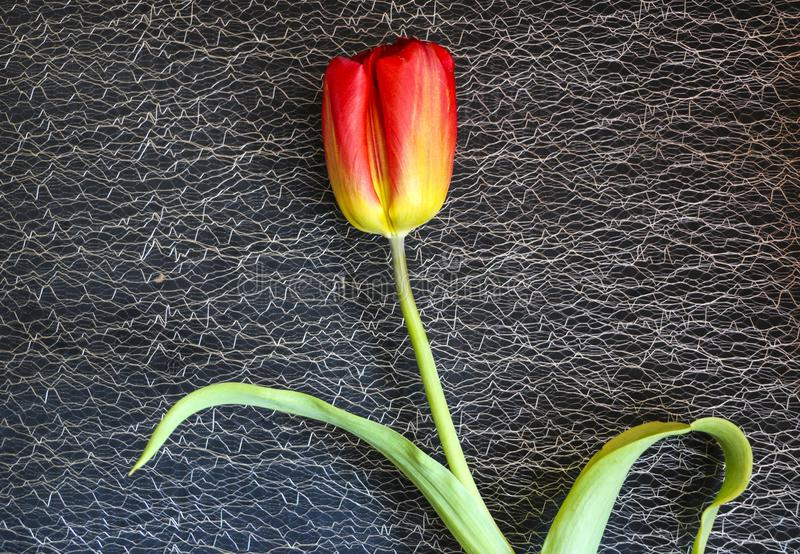 Red tulip on a black background. a delicate tulip flower with red petals and bright green leaves on a dark background. stock image