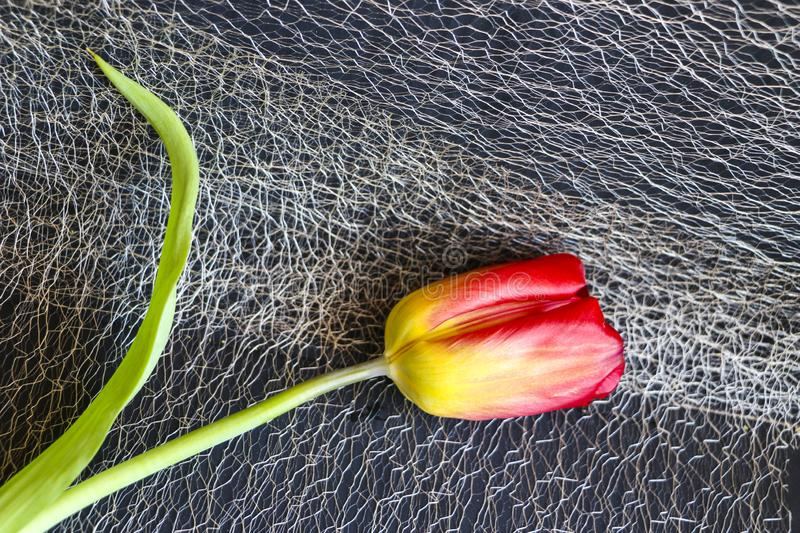 Red tulip on a black background. a delicate tulip flower with red petals and bright green leaves on a dark background. stock photos