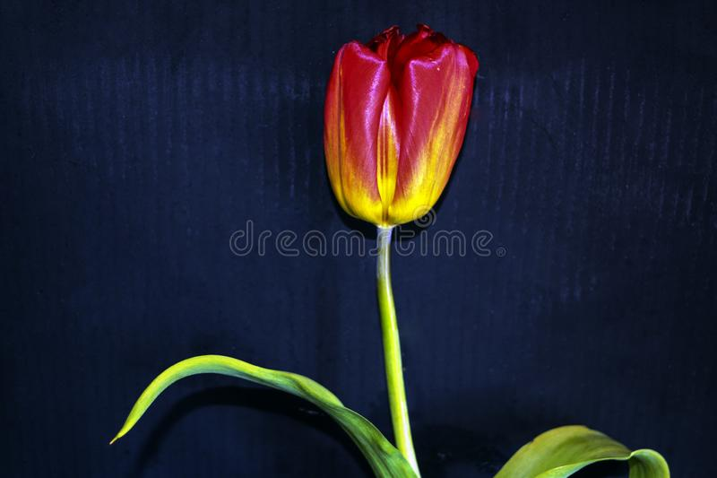 Red tulip on a black background. a delicate tulip flower with red petals and bright green leaves on a dark background. royalty free stock photo