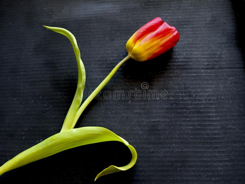 Red tulip on a black background. a delicate tulip flower with red petals and bright green leaves on a dark background. royalty free stock photography