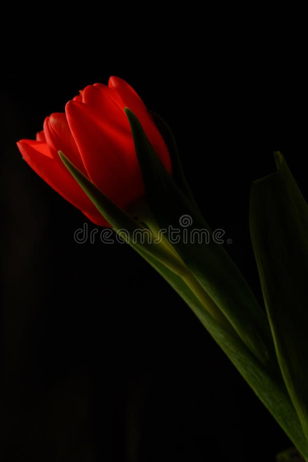 Red tulip on black background stock photography