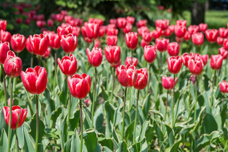 Red tulip. The blooming red tulip in the spring. Brasov Romania royalty free stock photos