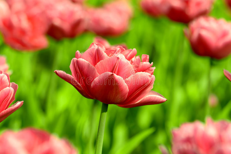 Red tulip close-up stock photography