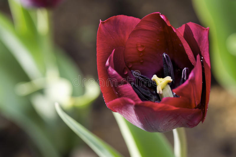 Download Red tulip stock image. Image of nature, colorful, macro - 30970817