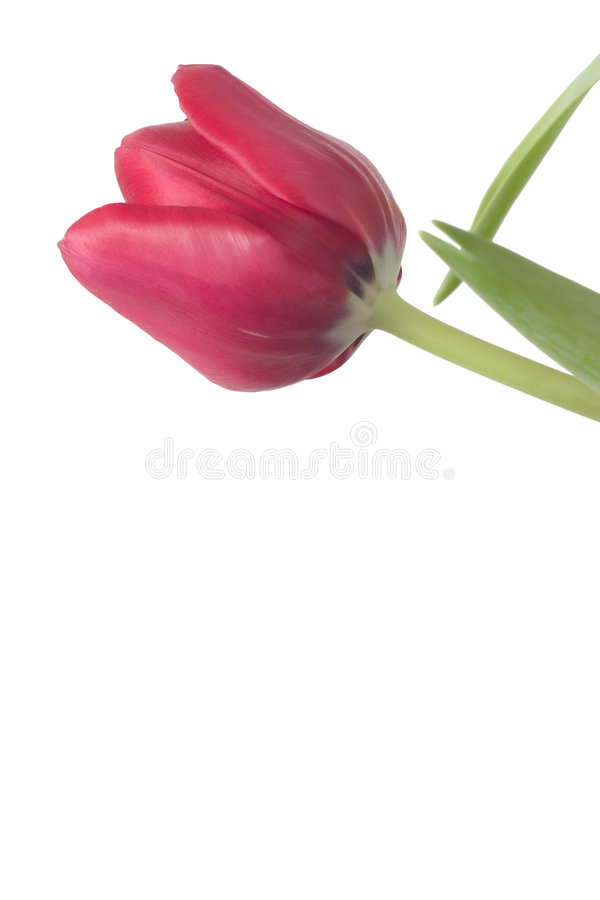 Download Red Tulip Copyspace 1 stock photo. Image of bright, petals - 525648