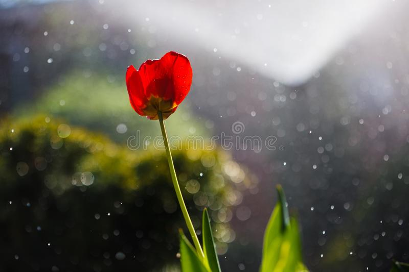 Red tulip in drops of water from an irrigation plant in a home garden royalty free stock image