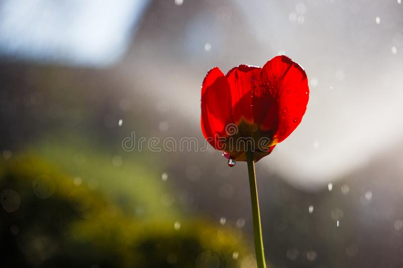 Red tulip in drops of water from an irrigation plant in a home garden stock image