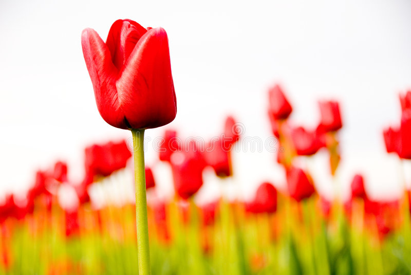 Download Red Tulip Field stock photo. Image of flowers, blue, pink - 2313730