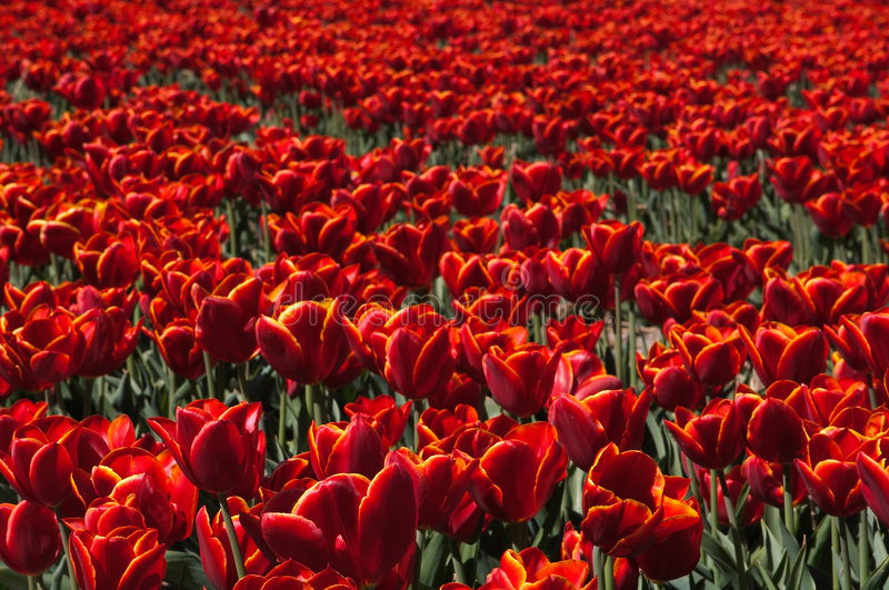 Red Tulip Field stock image