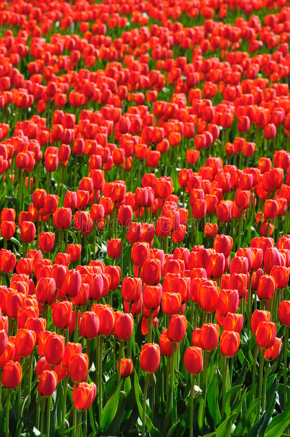 Red tulip field in bc stock images