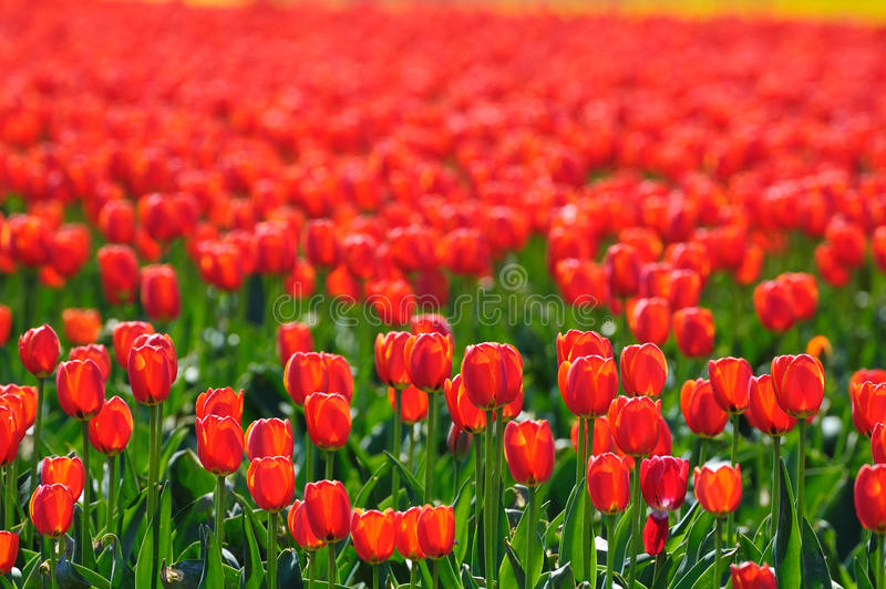 Red tulip field in bc stock image