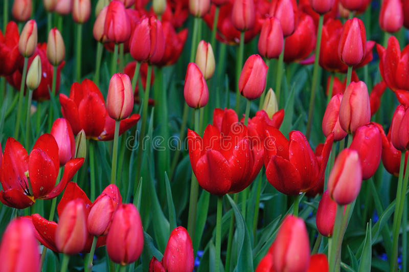 Red tulip field in bc royalty free stock images