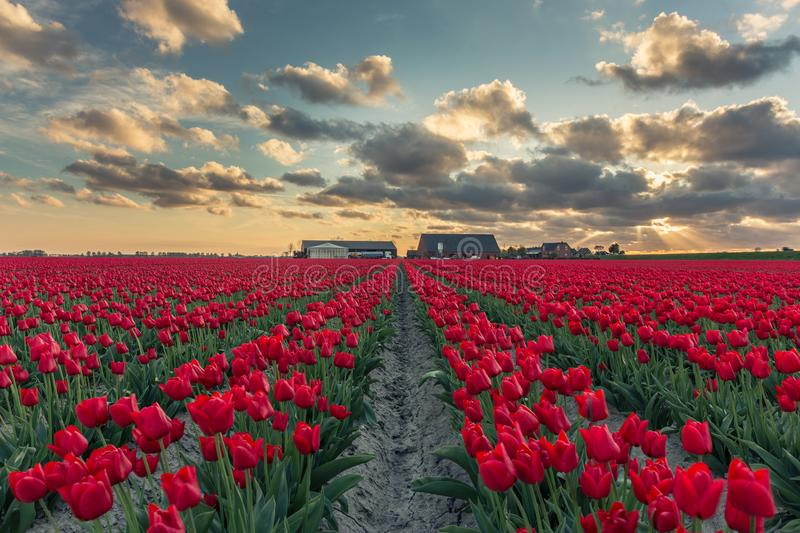 Red tulip field with beautilful clouds royalty free stock photography