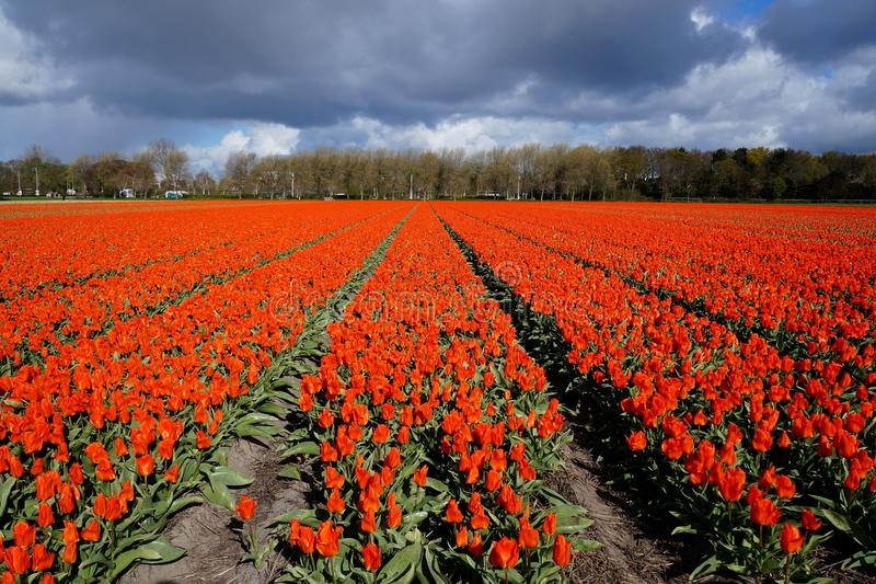 Red tulip field. Blossoming in Netherlands royalty free stock image