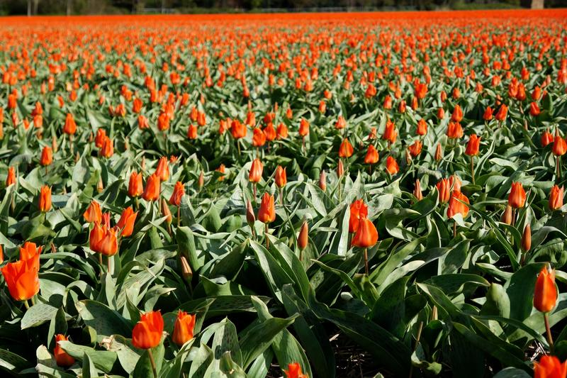 Red tulip field. Blossoming in Netherlands stock image