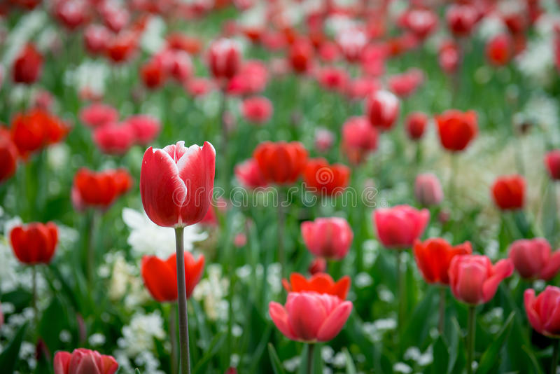 Red tulip in a field of flowers royalty free stock photos