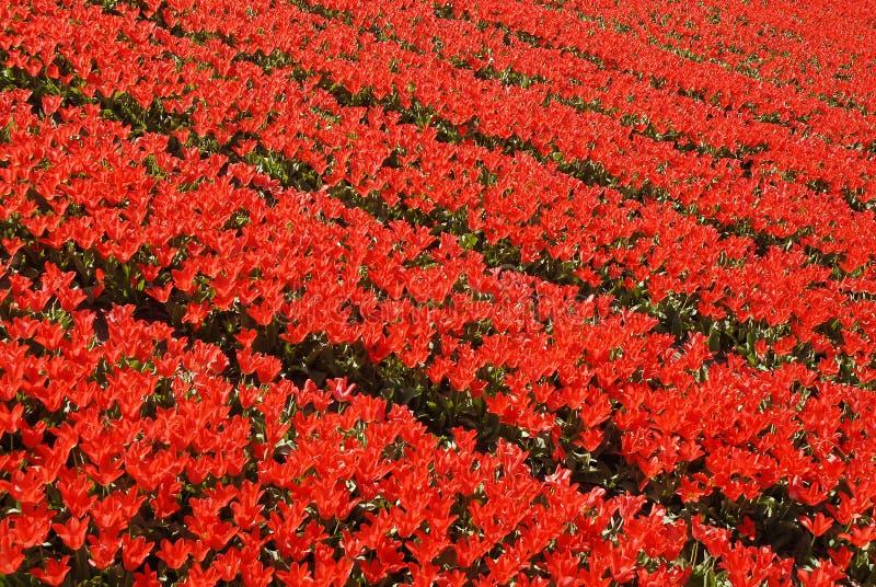 Download Red tulip fields stock image. Image of seasonal, season - 2250151