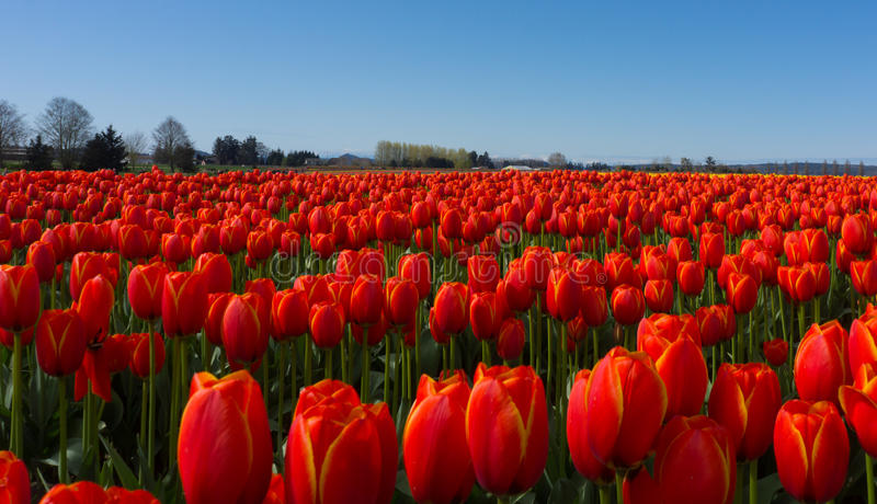 Red Tulip Fields royalty free stock photos