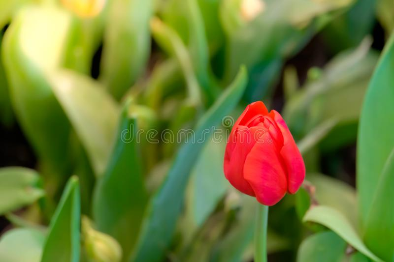 Red tulip flower bloom on green leaves background in tulips garden, Spring flowers stock images