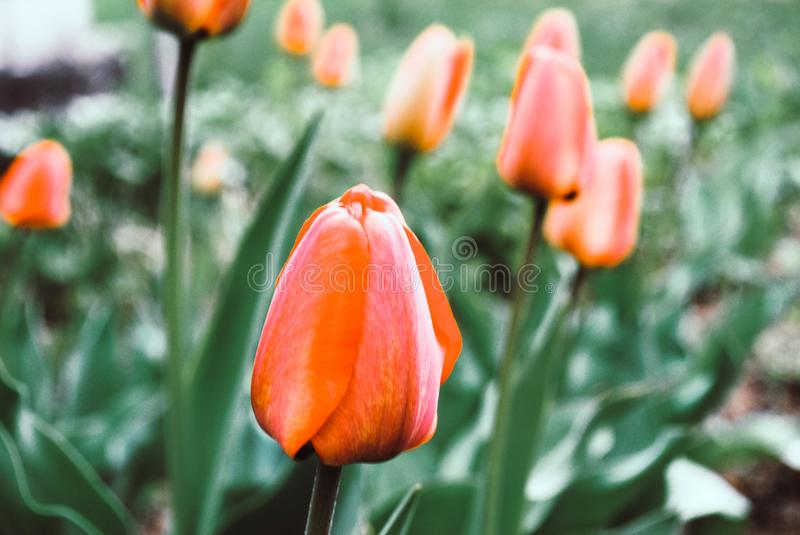 Red tulip flower, bud close-up. Photo. Red tulip flower, bud close-up. The photo royalty free stock images