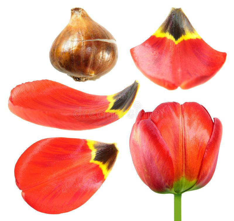 Red tulip flower with tulip bulb and petals closeup isolated on white. Background stock photography
