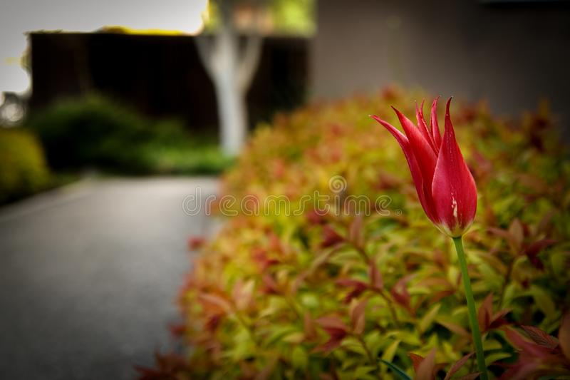 Red tulip flower in a green spring park. Red tulip flower in a green spring park stock photos