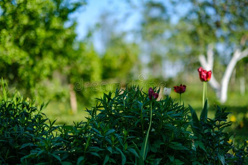 Red tulip flower in green summer garden. Blur background stock photography
