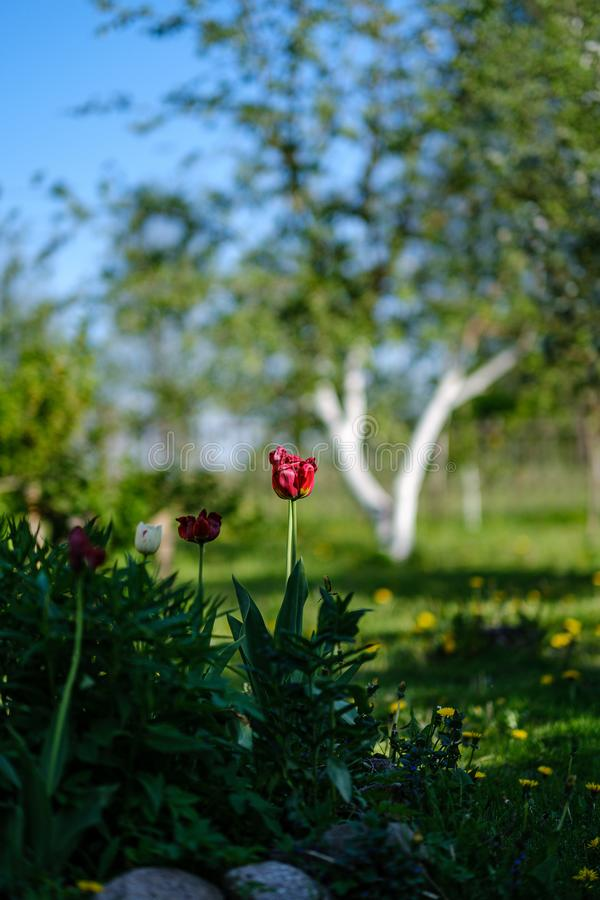 Red tulip flower in green summer garden. Blur background royalty free stock photo