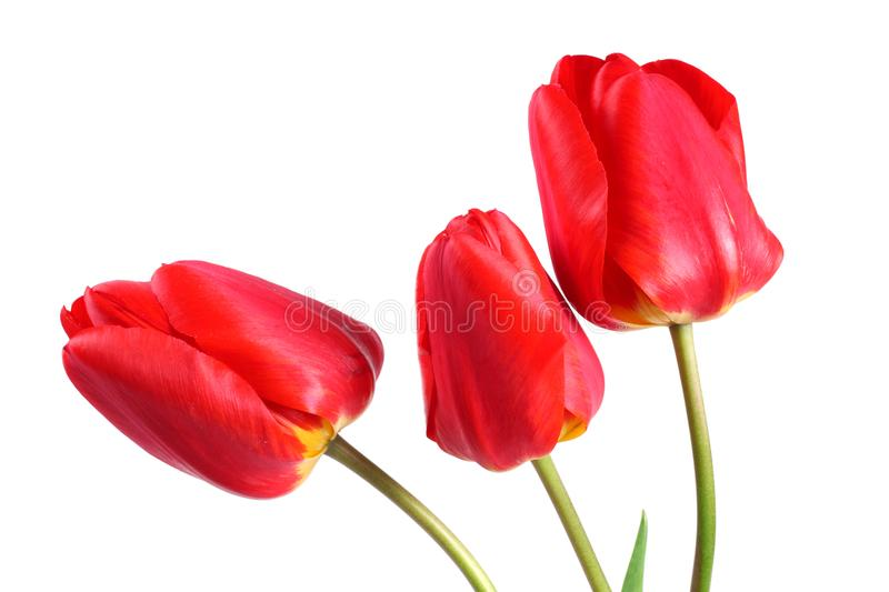 red tulip flower head isolated on white background stock photography