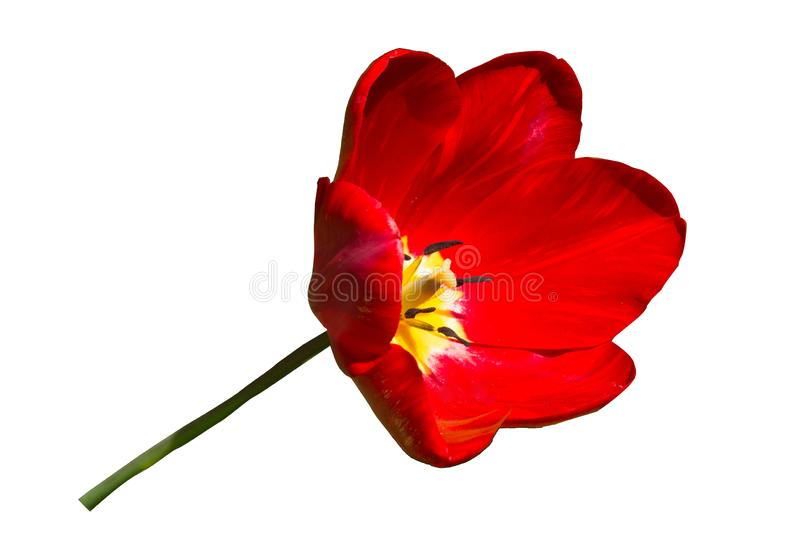 Red tulip flower head isolated on white background stock images