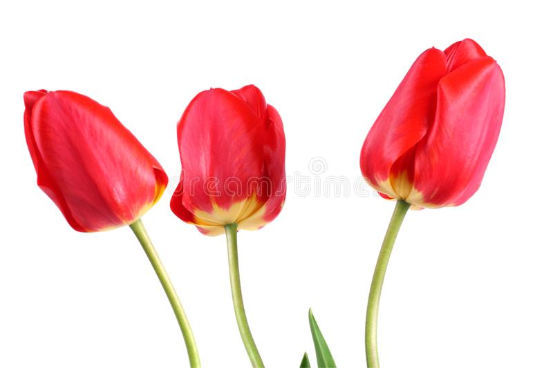 red tulip flower isolated on white background royalty free stock photography