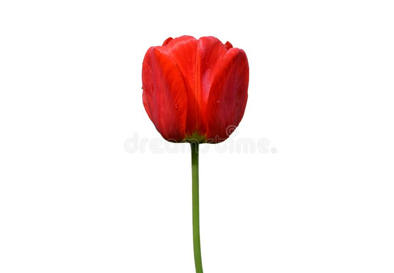 Red tulip flower isolated on white background. Tulip flower head isolated on white. Spring flowers royalty free stock photography